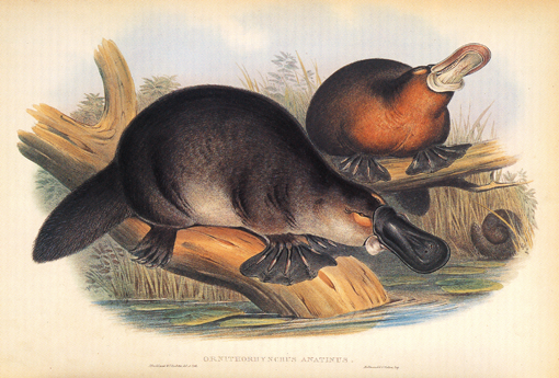 [Gould John - Duckbilled Platypus in 'The mammals of Australia' (1845-1863)]